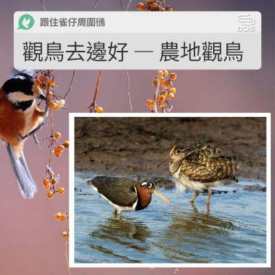 跟住雀仔周圍鴴(05)- 觀鳥去邊好 — 農地觀鳥