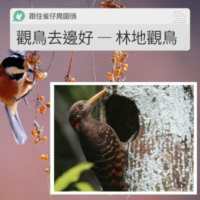 跟住雀仔周圍鴴(07)- 觀鳥去邊好 — 林地觀鳥