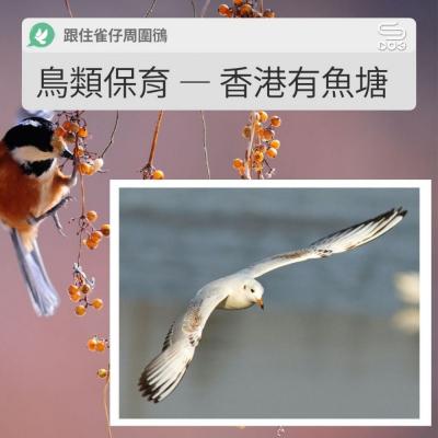 跟住雀仔周圍鴴(12)- 鳥類保育 — 香港有魚塘